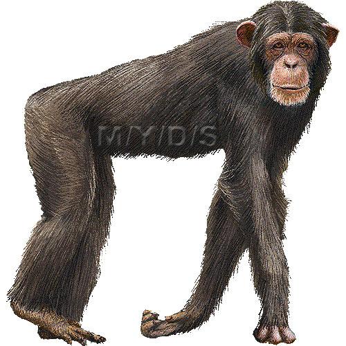 チンパンジーの画像 p1_15