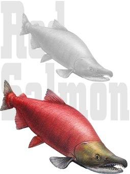 べにざけのポストカード/条件付無料素材 (紅鮭)ベニザケ/シャケの壁紙・背景画像 ※背景部分は透