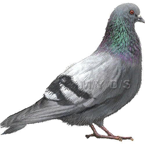 カワラバト・ドバト/(鳩)ハトのイラスト/条件付... カワラバト・ドバト/(鳩)ハトのイラスト
