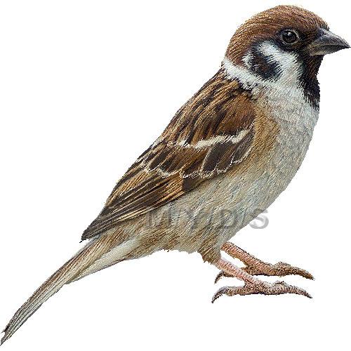 雀)スズメのイラスト・条件付フリー素材集: myds.jp/animal/bird/sparrow