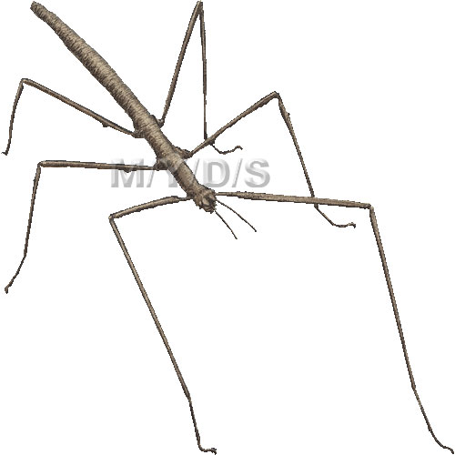 ナナフシのイラスト/条件付フリー素材集 (七節、竹節虫)ナナフシのイラスト・条件付フリー素材集