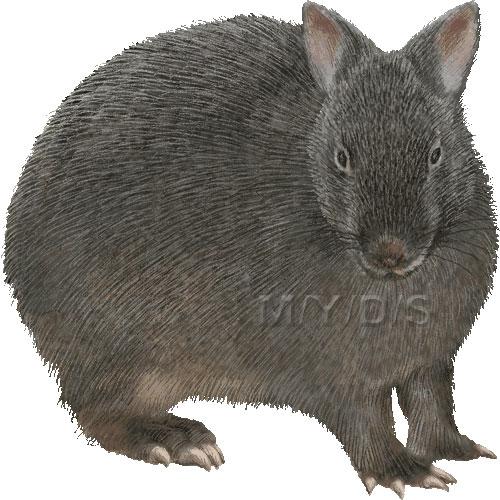 アマミノクロウサギの画像 p1_22
