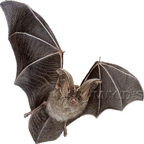 コウモリの画像 p1_13