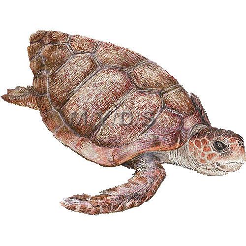 イラスト かめ イラスト : Loggerhead Sea Turtle Clip Art