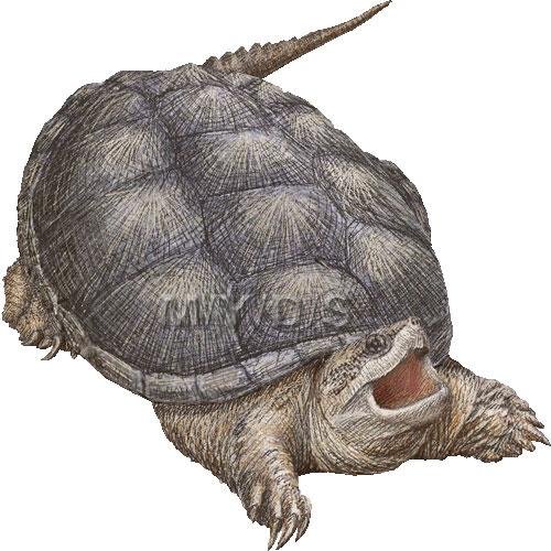 カミツキガメの画像 p1_12