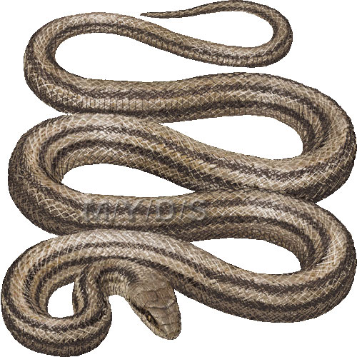 蛇)シマヘビのイラスト ...